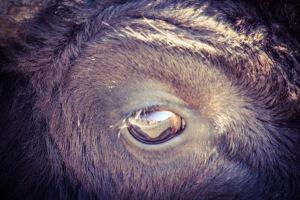 Bison shrieking so close its eyeball fills my viewfinder.