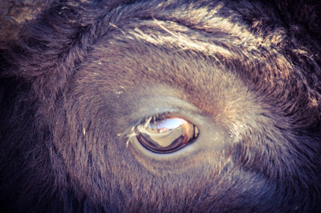 Bison shrieking so close its eyeball fills my viewfinder.
