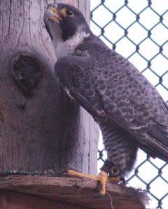 Jago Peregrine Falcon, Grizzly & Wolf Discovery Center.